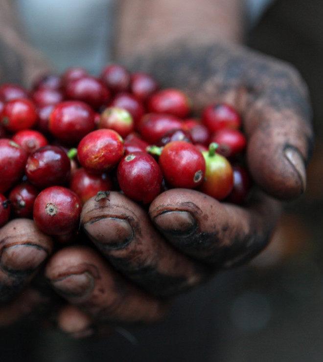 Espressoblend Barajar Grønne Bønner