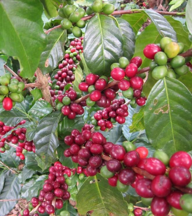 Økologisk Honduras Marcala