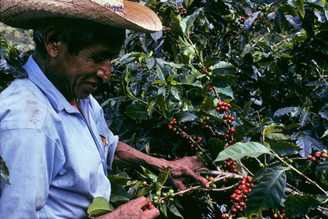 Økologisk kaffe Guatemala Finca Ceylan Y Anexos