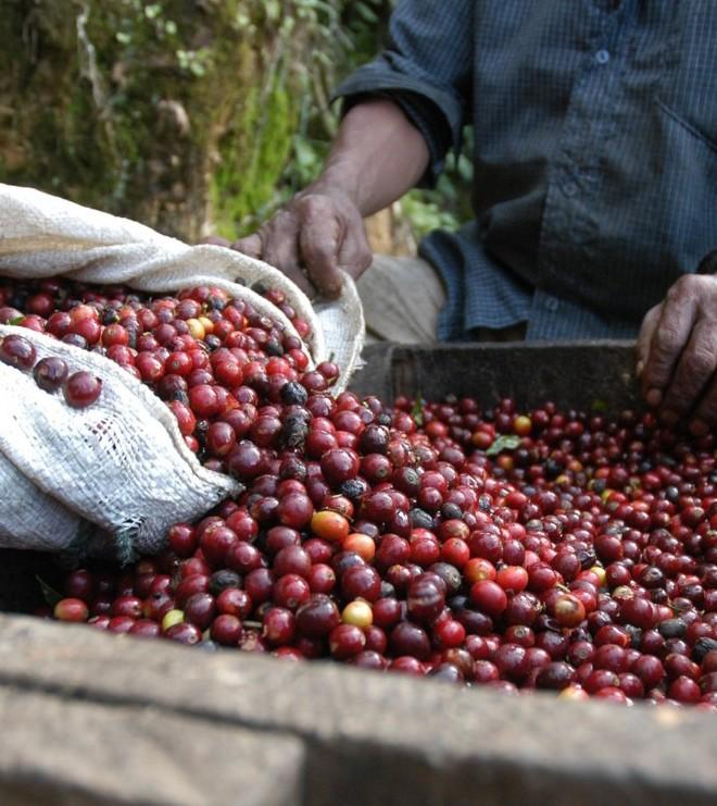 Økologisk kaffe Guatemala, Finca Ceylan Y Anexos