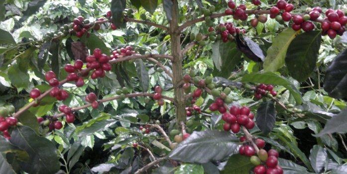 Økologisk Indonesien Umang Gayo