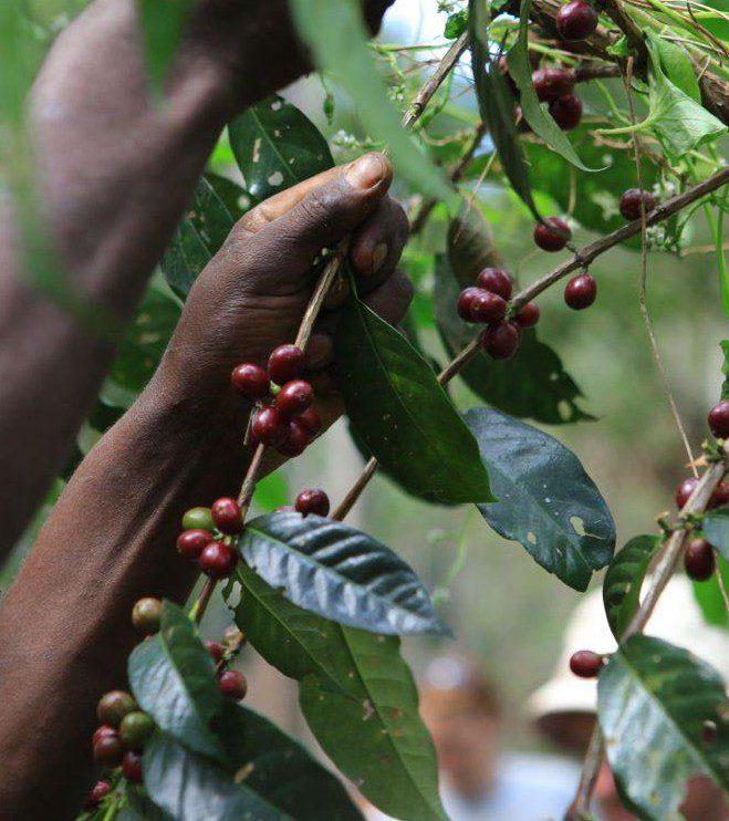 Økologisk Etiopien Sidamo Suke Quto