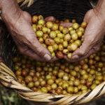 Økologisk Peru Aprocoyce Grønne bønner