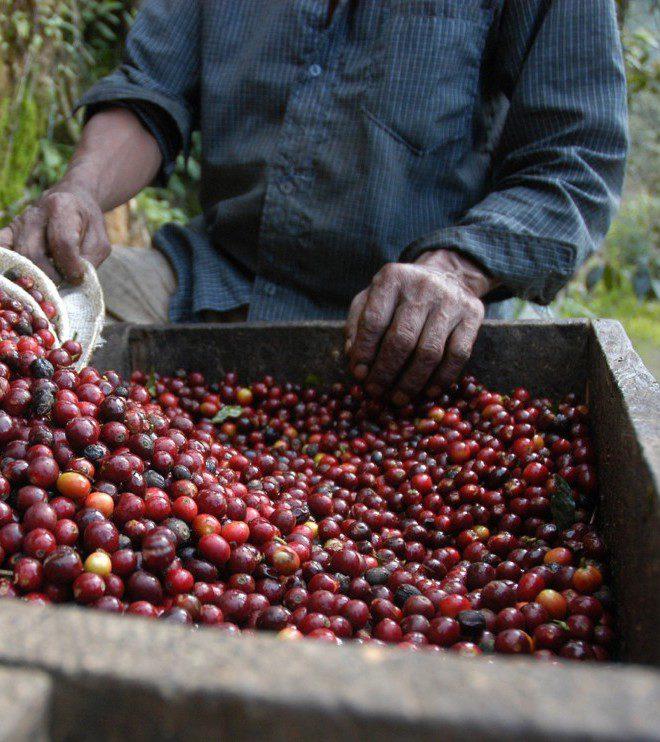 Økologisk Guatemala Finca Ceylan Y Anexos Grønne bønner