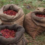 Kenya AA Mukure Grønne bønner