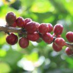 Økologisk Indonesien Umang Gayo Grønne bønner
