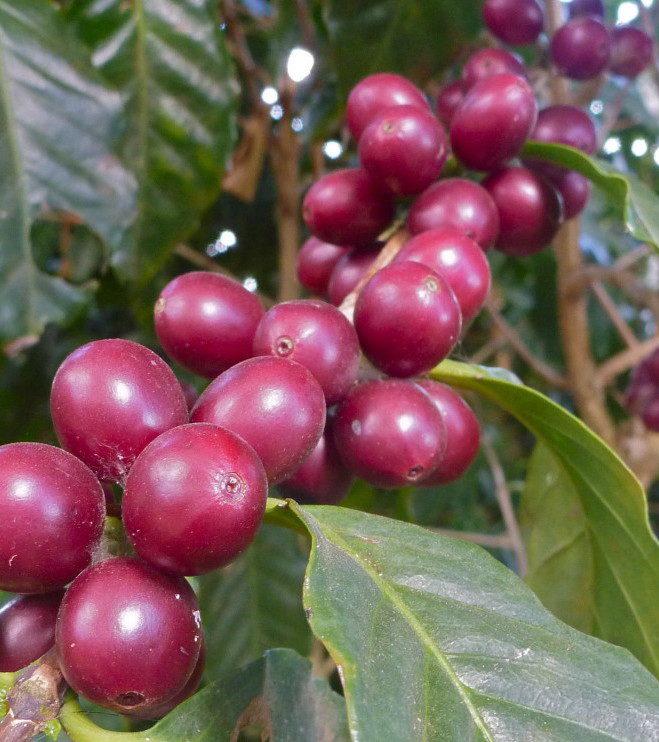 Økologisk Honduras Marcala Grønne bønner
