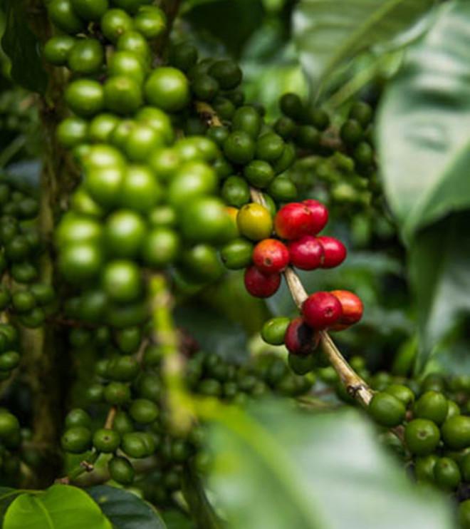 Nicaragua Finca La Fundadora Grønne bønner