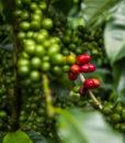 Nicaragua Flora Grønne bønner
