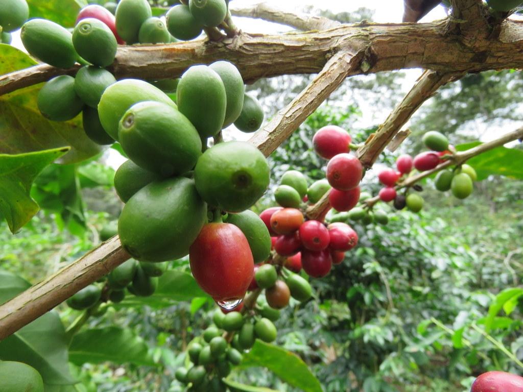Økologisk kaffe fra Honduras